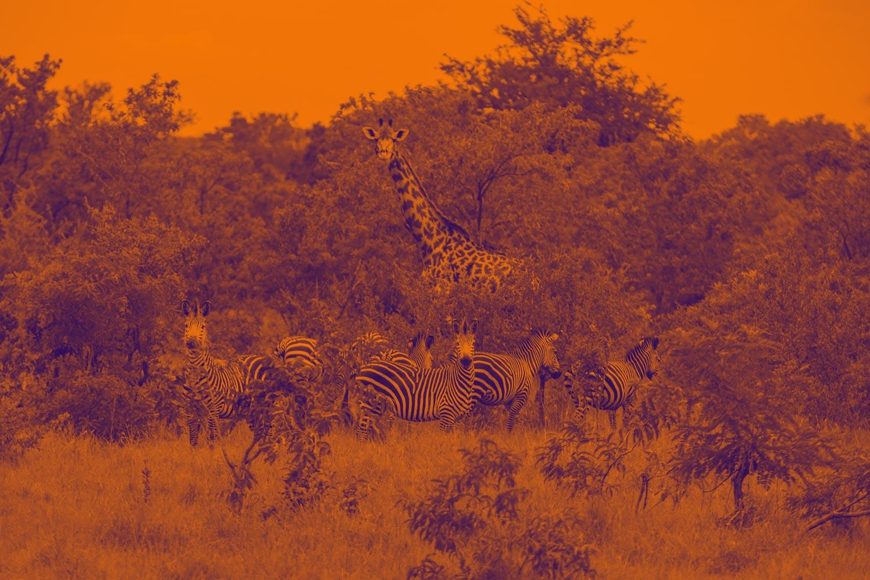 Luxuri Short Safari